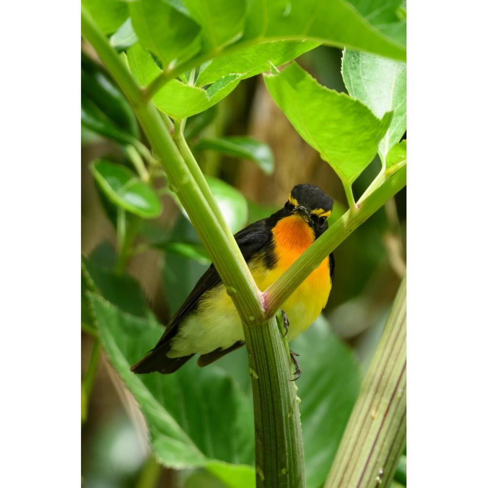 キビタキ / Narcissus Flycatcher