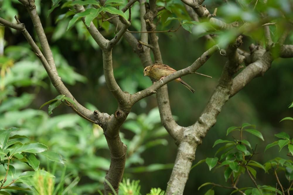 アオジの幼鳥 / Juvenile black-faced bunting
