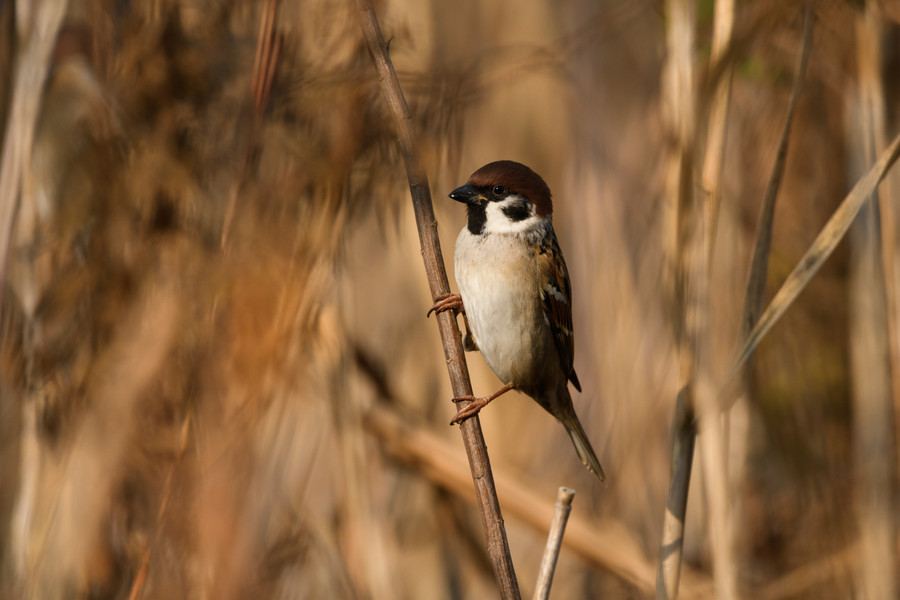 Sparrow in Reed