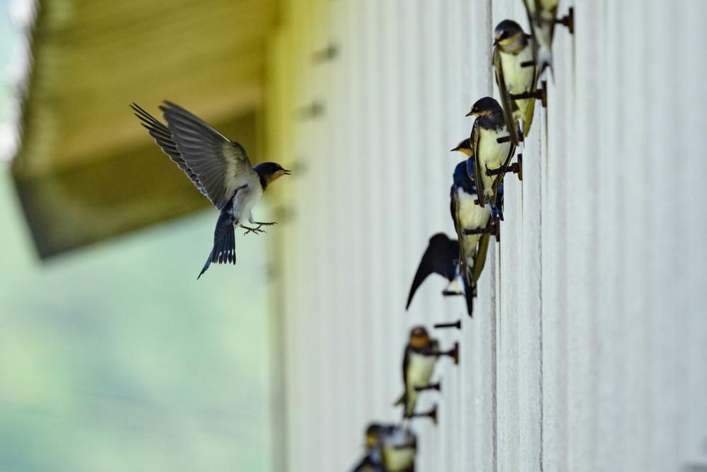 壁に止まる若ツバメの群れ / A flock of young swallows perching on a wall.
