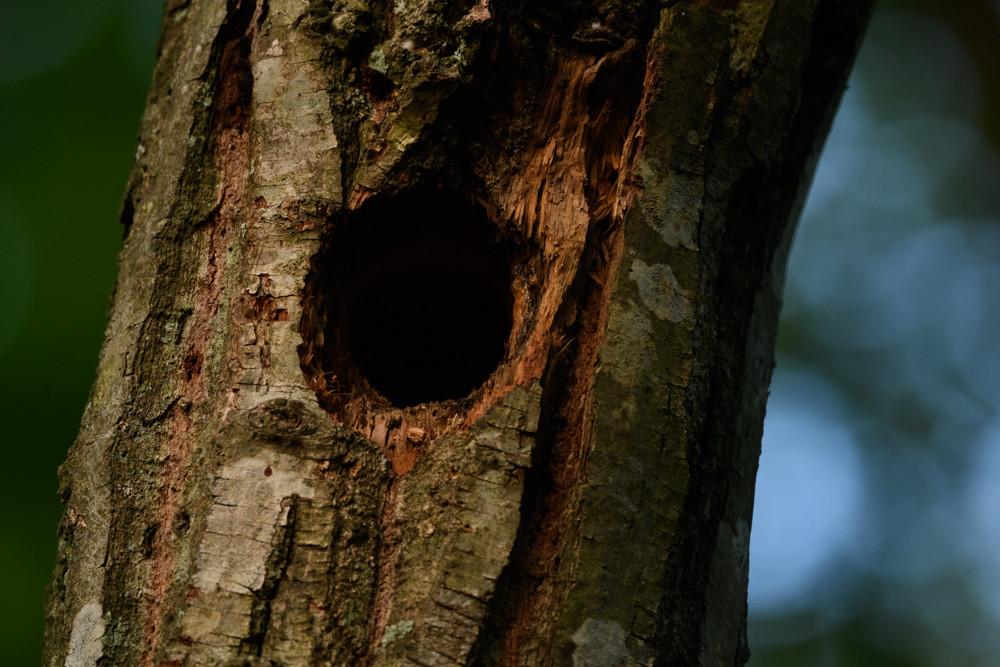 キツツキの巣 / Woodpecker's nest