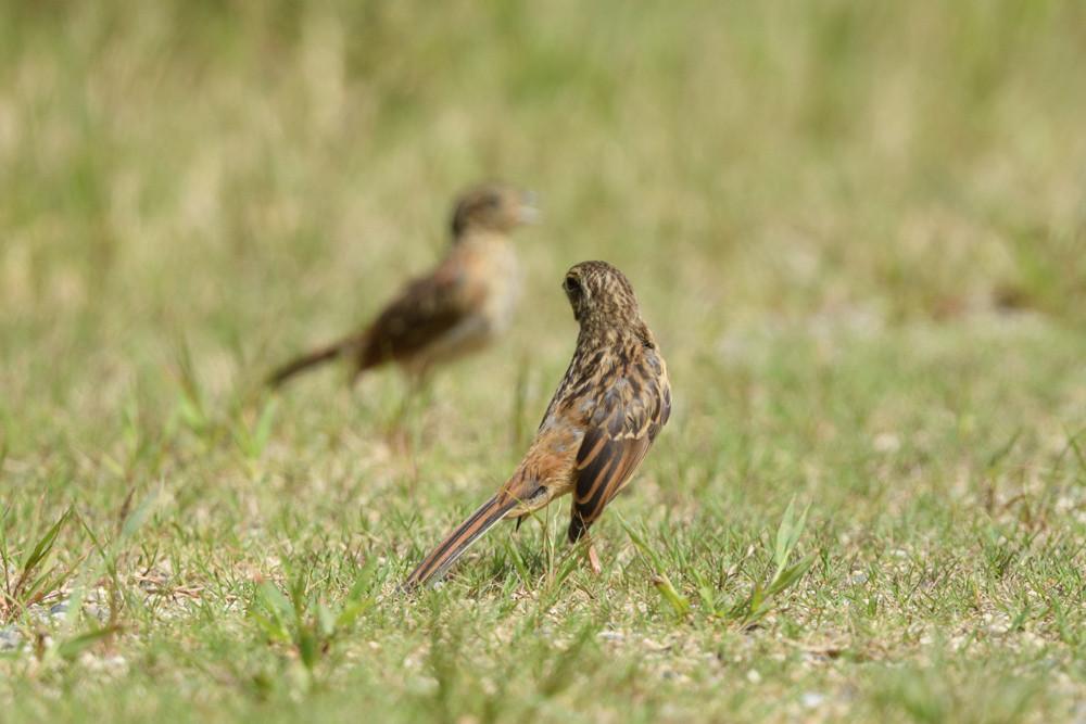 ホオジロ幼鳥 / Juvenile meadow buntings