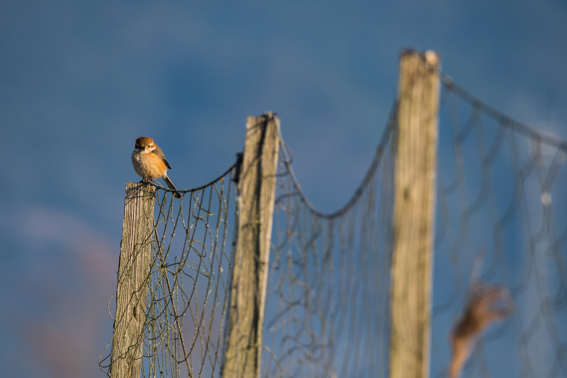 Shrike on Old Fence