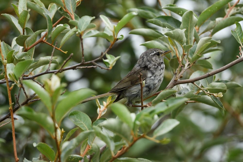 未同定 / Unknown bird