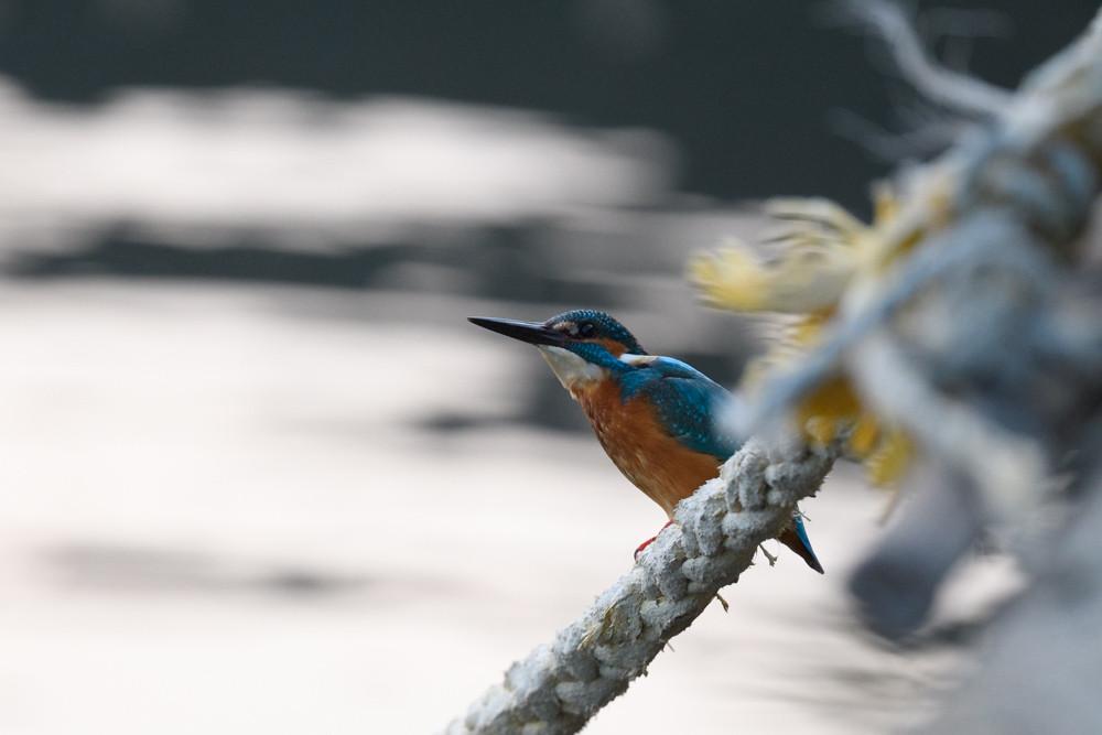 カワセミ / Common Kingfisher