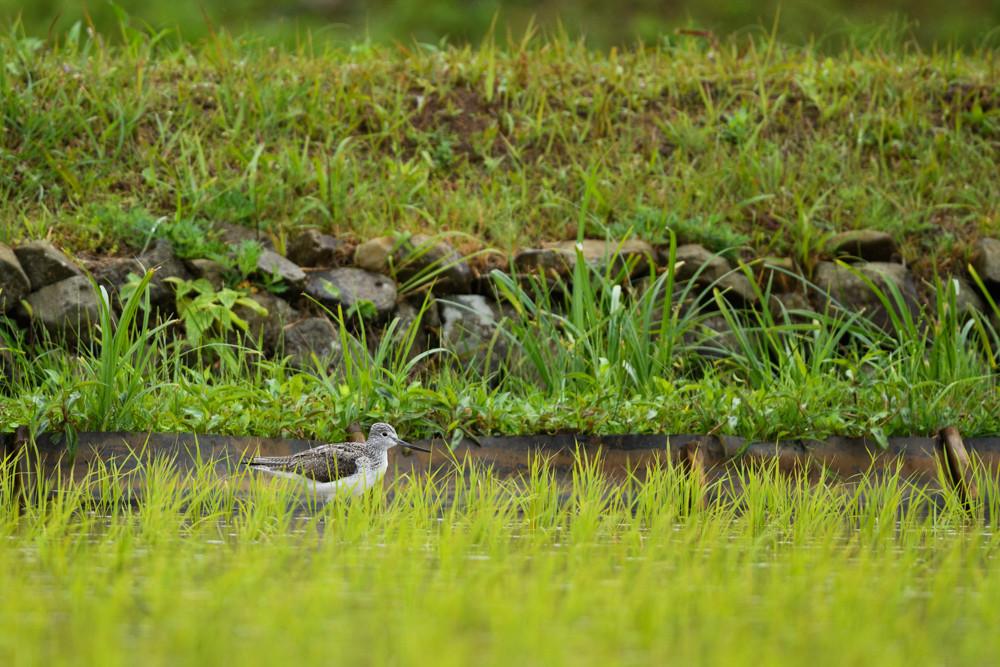 アオアシシギ / Common Greenshank