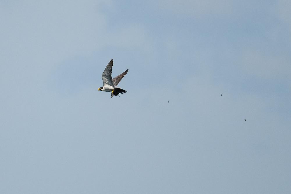 ヒヨドリを捕らえたハヤブサ / A falcon holding a brown-eared bulbul
