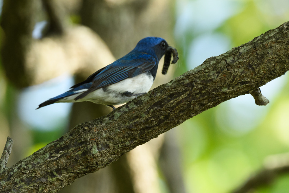 オオルリ / Blue-and-white Flycatcher