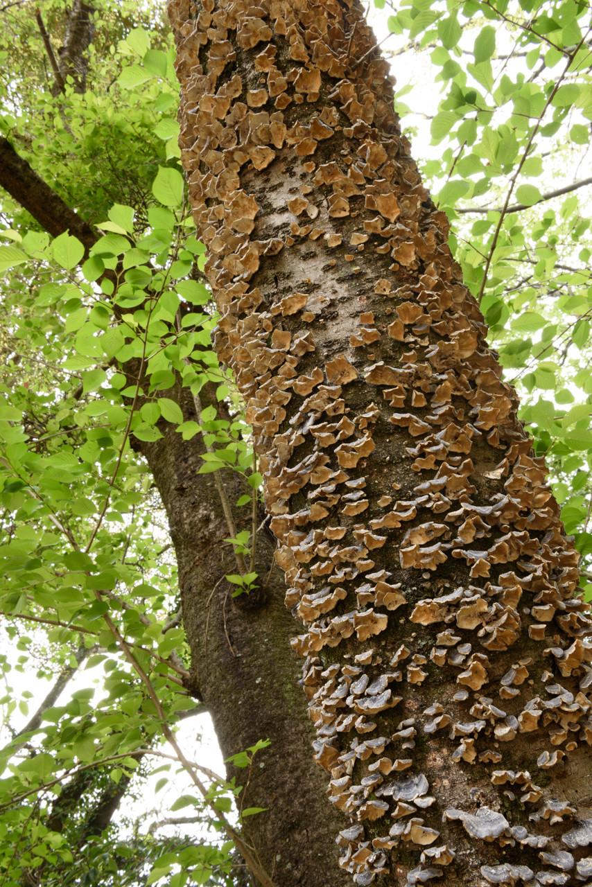 カワラタケの密生した木 / A tree covered with trametes versicolor