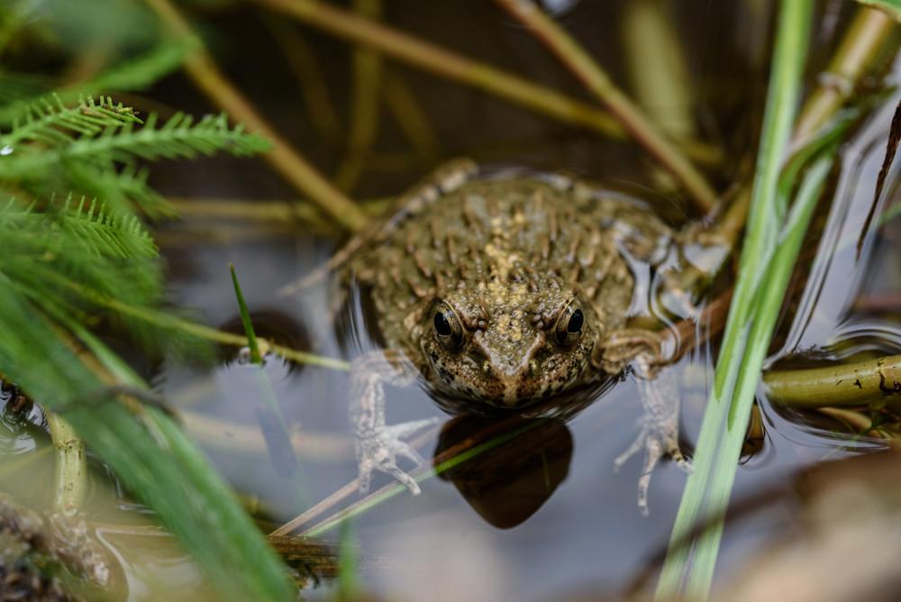 ツチガエル / Wrinkled frog