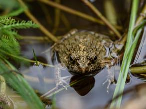 アオジ・ツチガエル / Black-faced bunting and Wrinkled frog