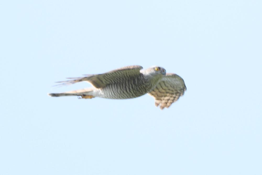 ハイタカ? / Eurasian Sparrowhawk?
