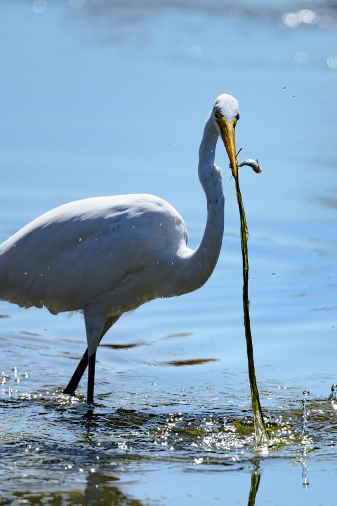 水草と魚を咥えたダイサギ / A Great Egret with water plants and fish in its beak