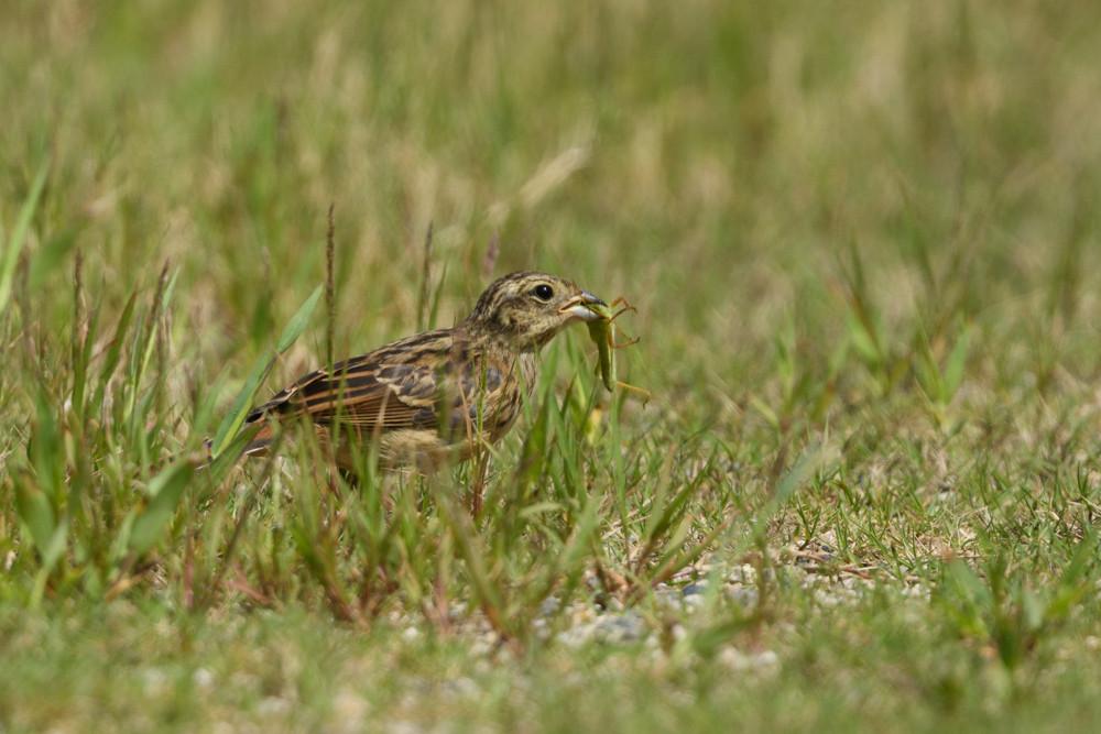 ホオジロ幼鳥 / Juvenile meadow bunting