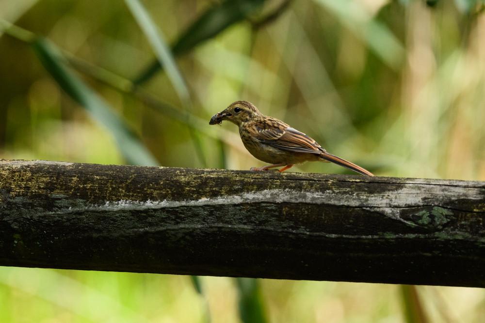 虫を咥えたアオジの幼鳥 / Juvenile black-faced bunting with a bug in its beak