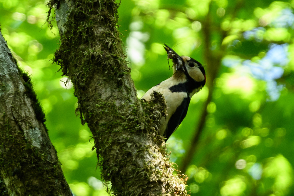 虫を咥えたアカゲラ / A great spotted woodpecker holding insects in its bill