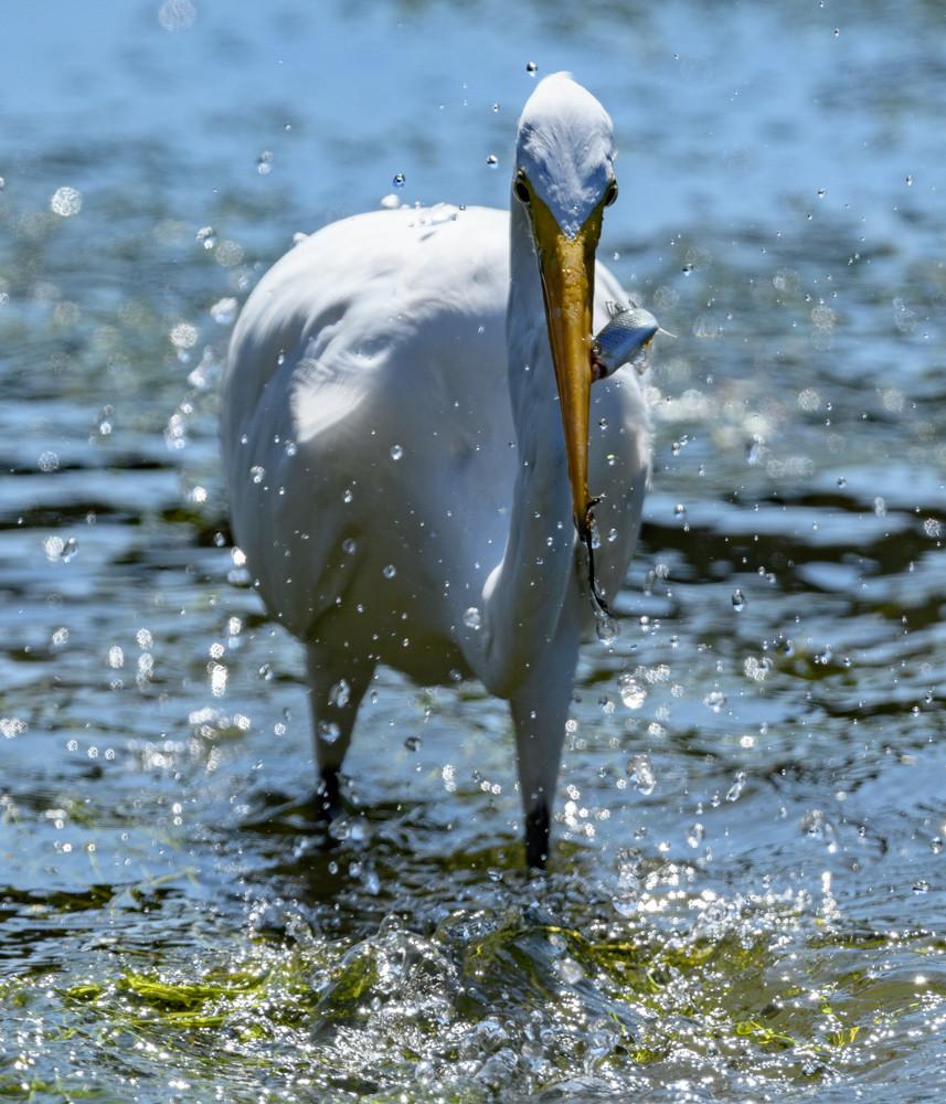 魚を咥えたダイサギ / A Great Egret with a fish in its beak
