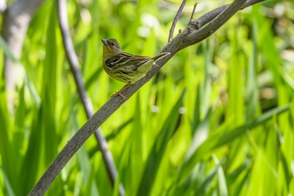 ノジコ (オス) / Yellow Bunting (male)