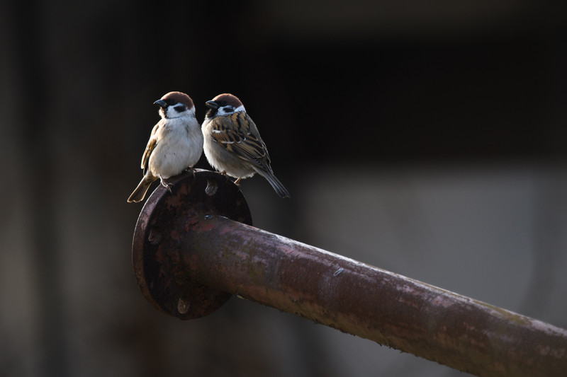 Pair of Sparrows