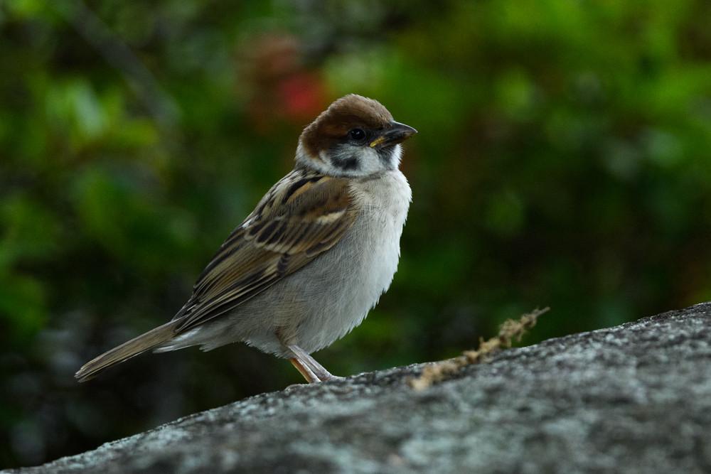 スズメの幼鳥 / A juvenile sparrow