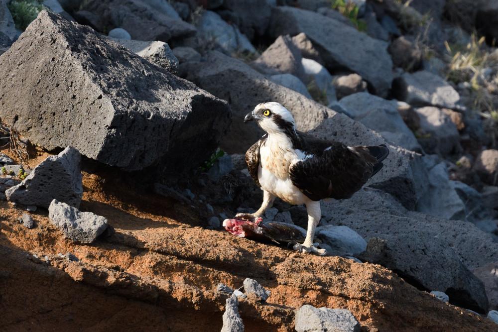 ミサゴ / Osprey