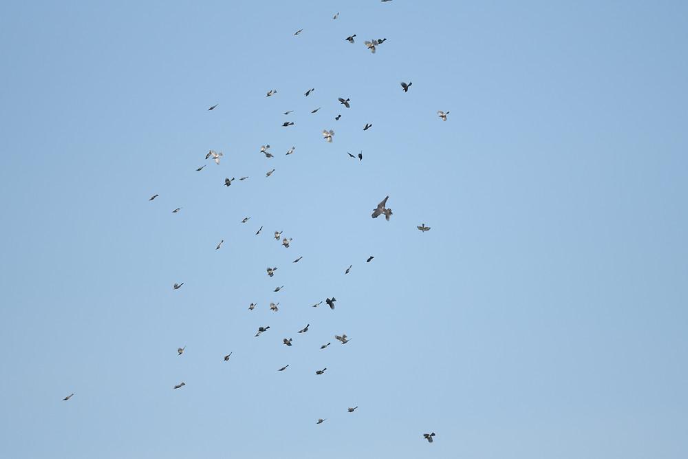 ハヤブサの攻撃を受けるヒヨドリの群れ / A flock of brown-eared bulbuls attacked by falcons