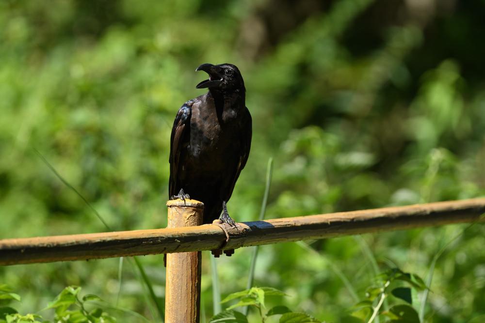 カラスの幼鳥 / A young crow