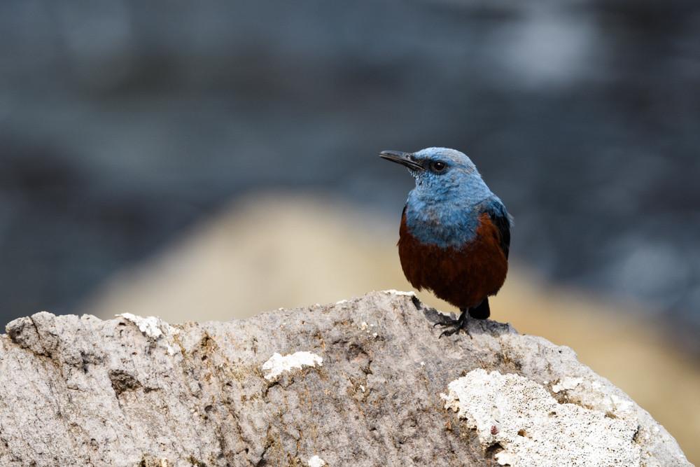 イソヒヨドリ / Blue Rock Thrush