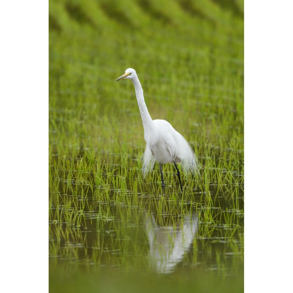 チュウダイサギ / Great Egret (A. a. modesta)