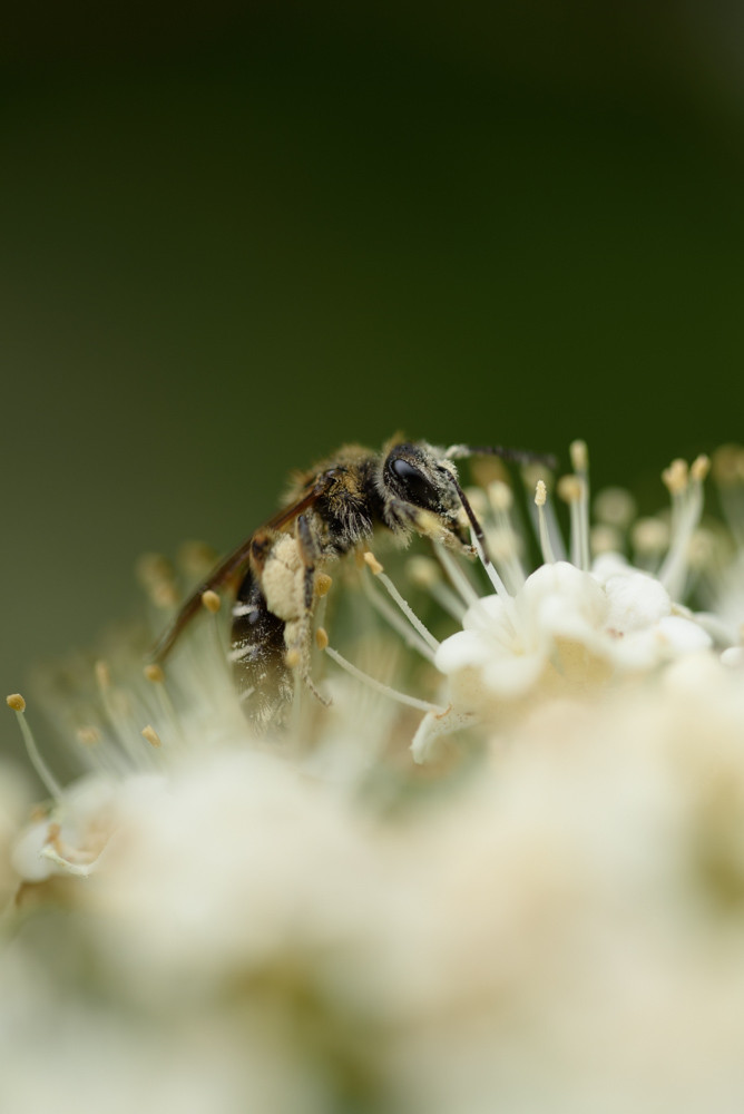 花粉を集めるハチ / A bee gathering pollen
