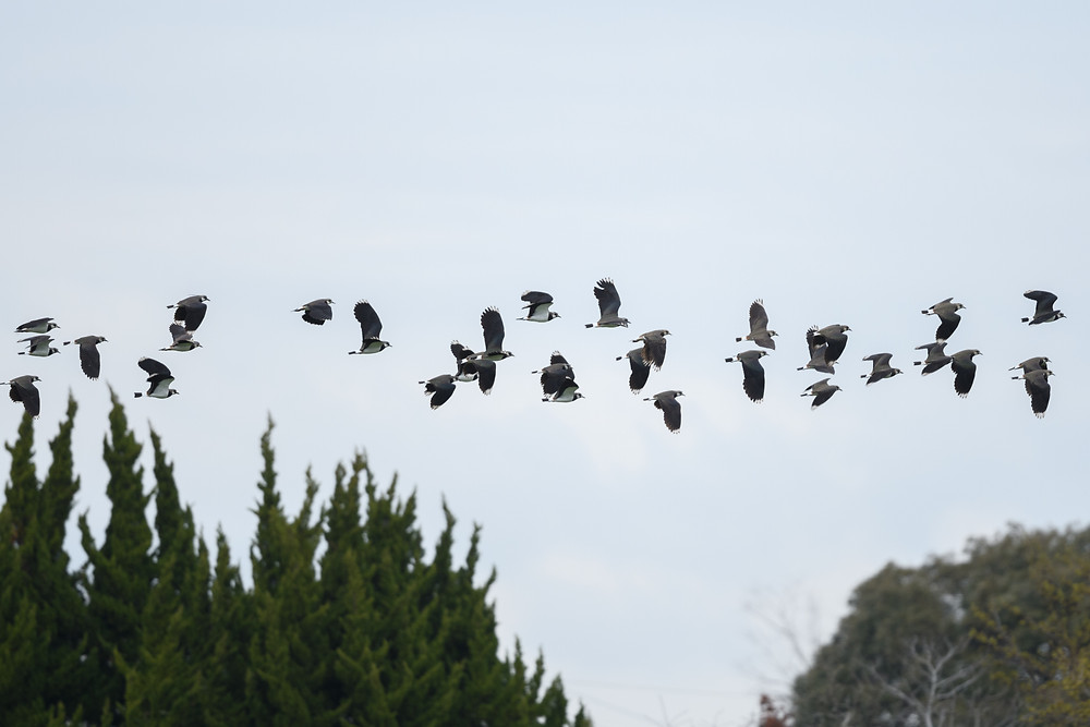 群れで飛ぶタゲリ / Flying flock of northern lapwings