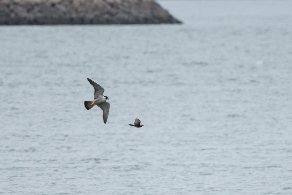 ヒヨドリを追うハヤブサ / A falcon chasing a brown-eared bulbul