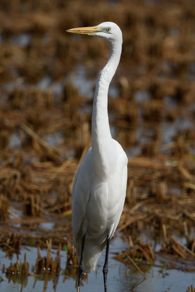 チュウダイサギ / Great egret
