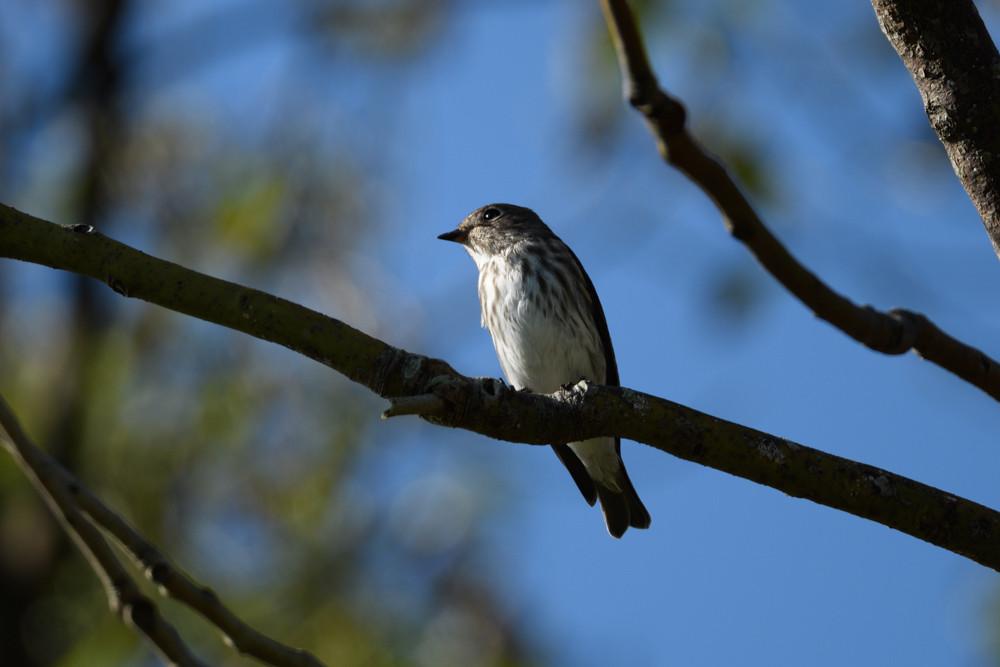 エゾビタキ / Grey-streaked flycatcher