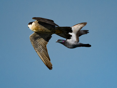 ハヤブサの狩り / Falcon hunting