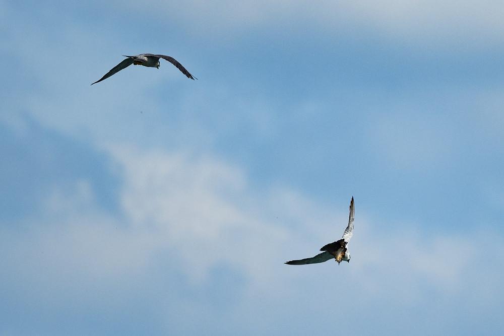 獲物を捕らえたハヤブサのつがい / A pair of falcons holding their prey
