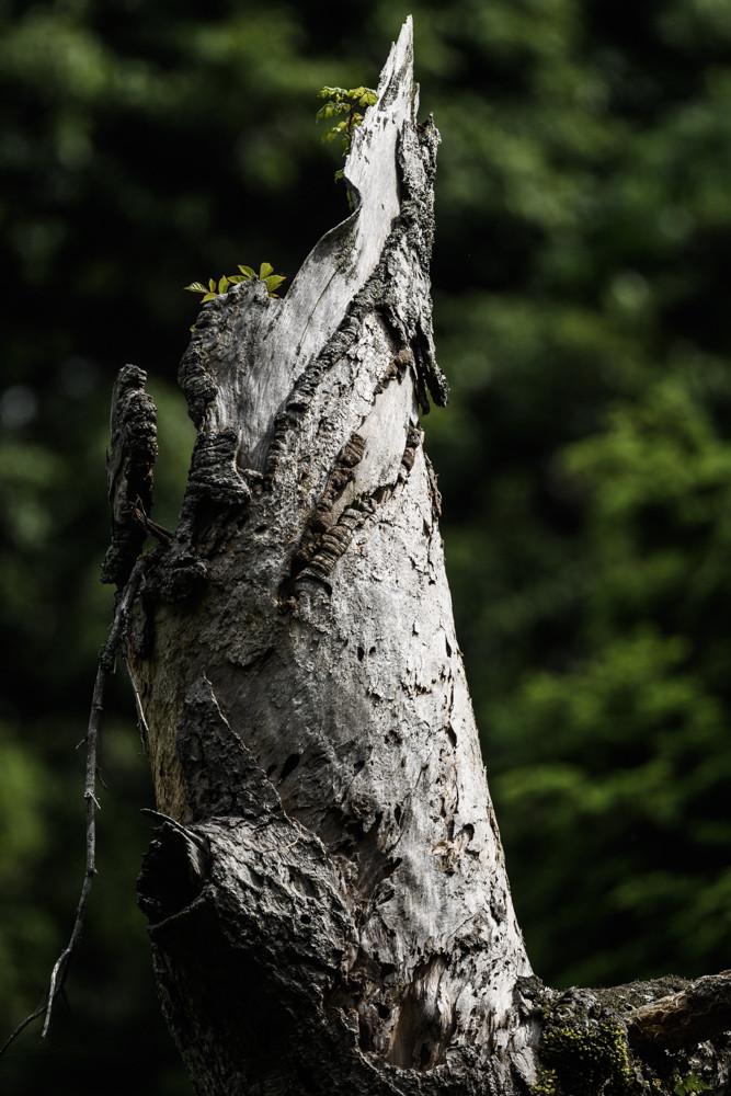 光に照らされる朽木の先端 / Tip of dead tree lit by sunlight