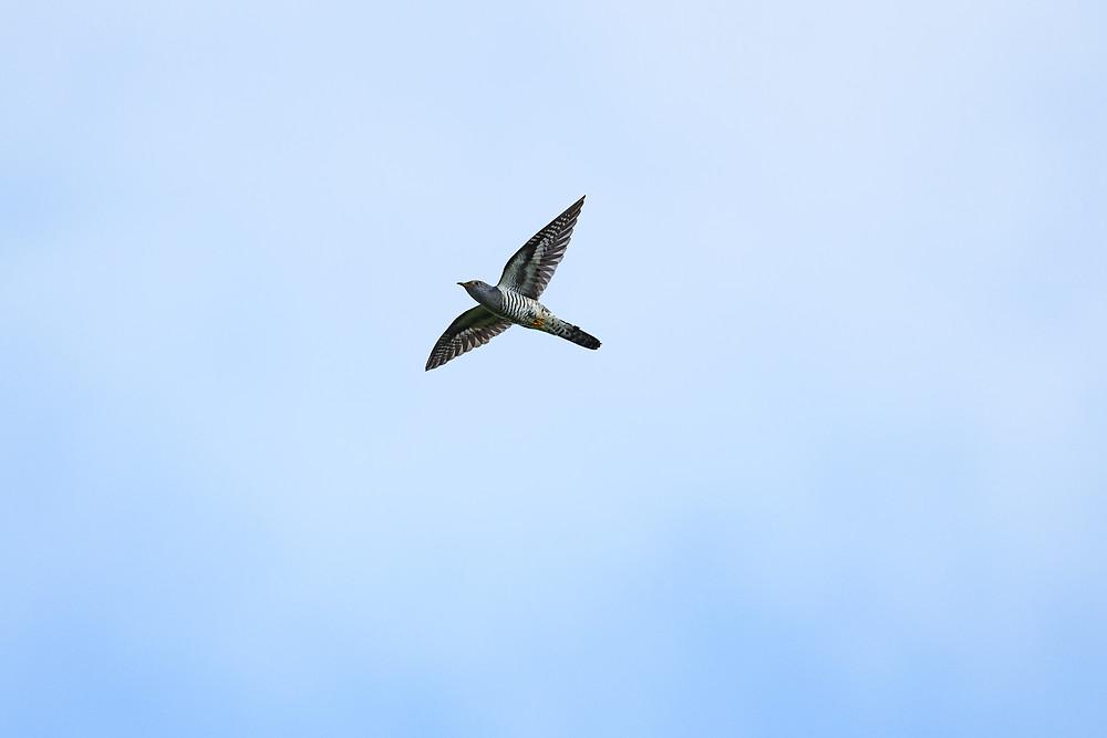 カッコウ? / Common cuckoo