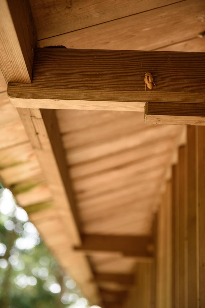 神社の軒下に残るセミの抜け殻 / A cicada's shell under the eaves of shrine