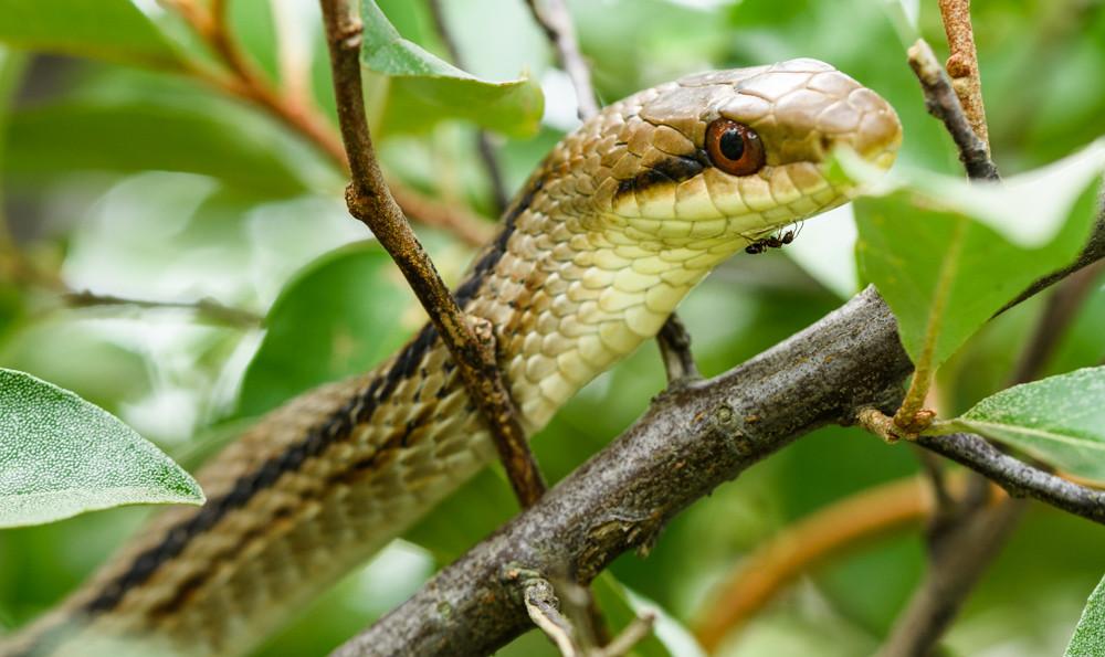 シマヘビのアゴを歩くアリ / An ant walking on a snake's jaw