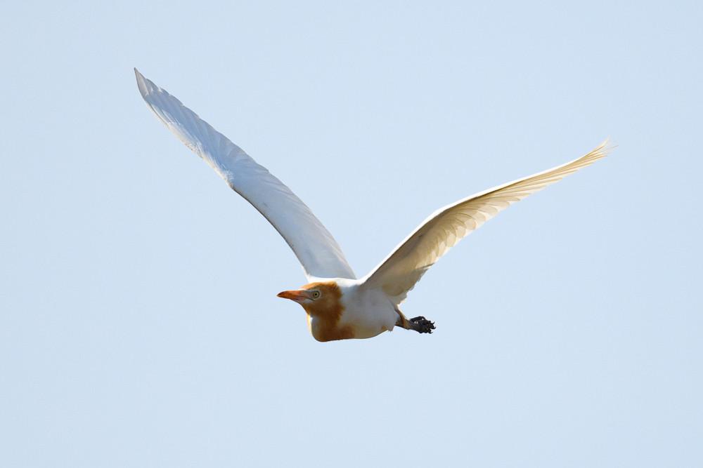 アマサギ / Cattle Egret