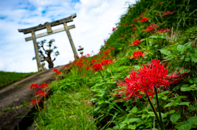 Spider Lilies and Gate of Shrine