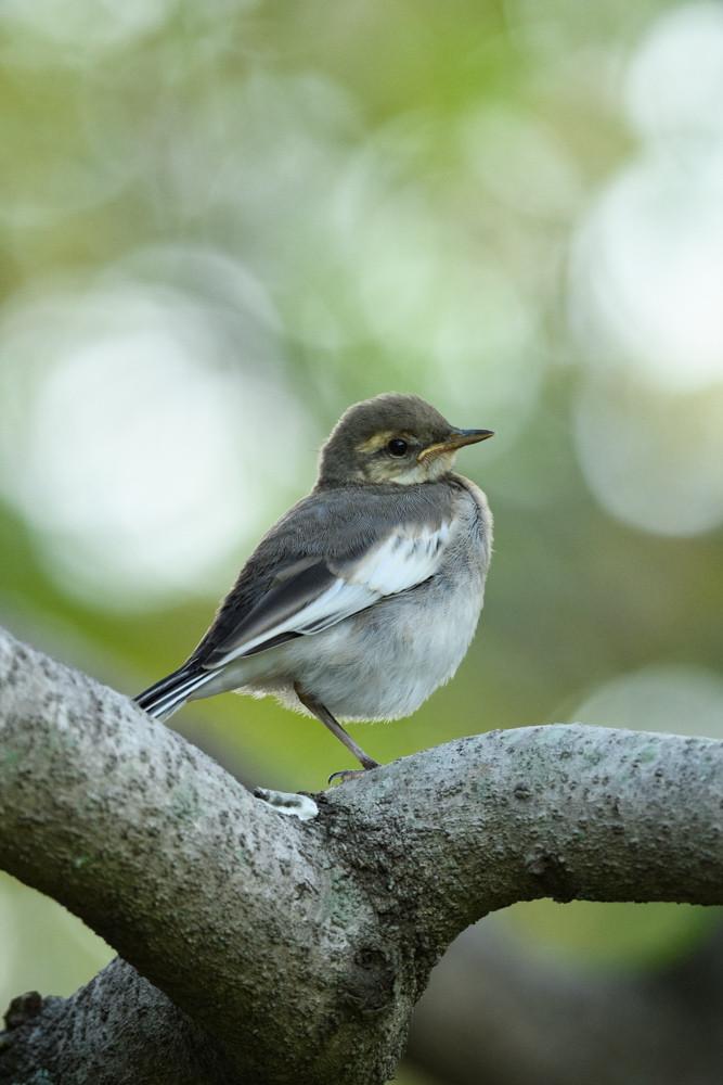 ハクセキレイの幼鳥 / A juvenile white wagtail