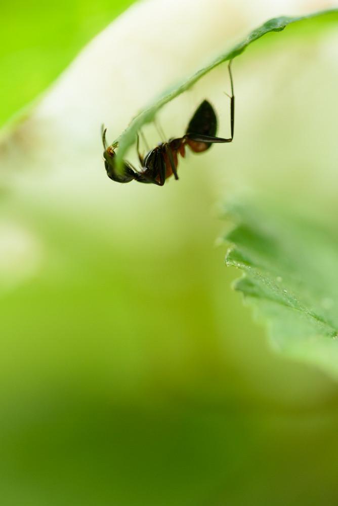 葉っぱの上のアリ / An ant on a leaf