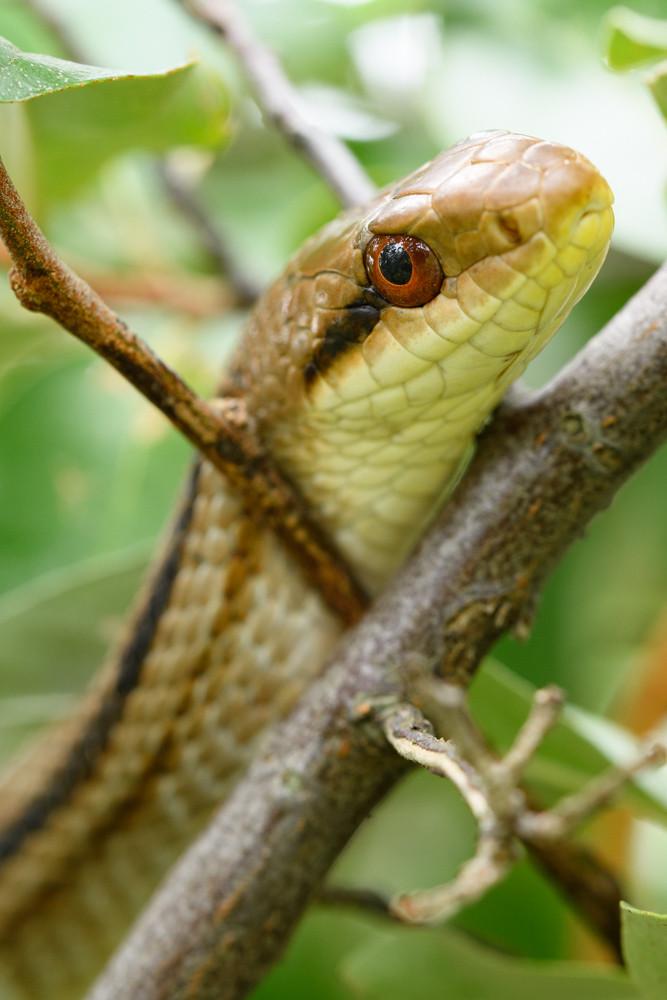 シマヘビ / Japanese striped snake