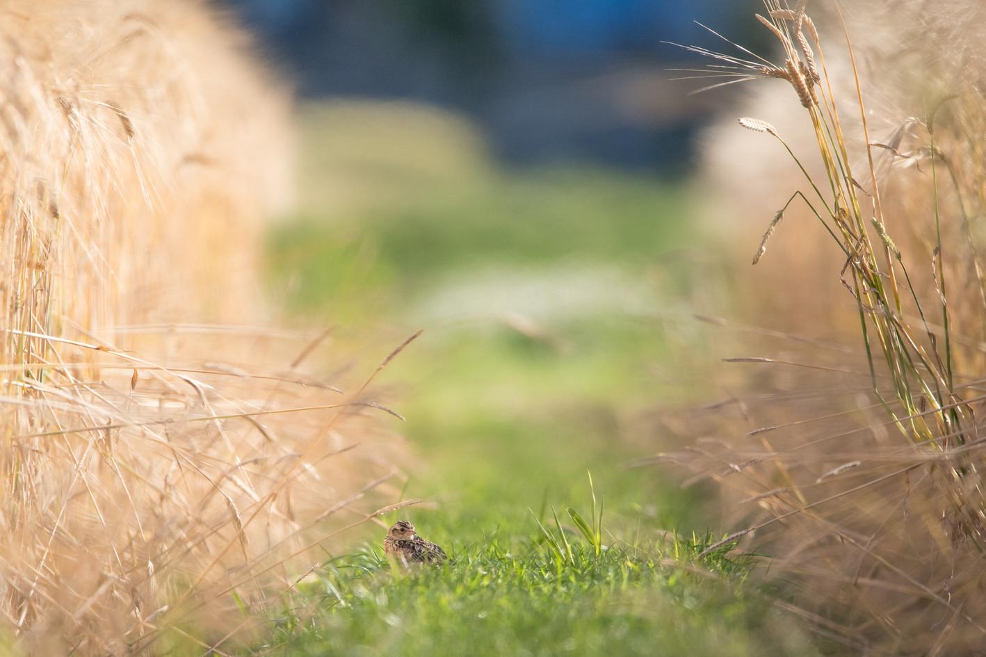 Skylark in Wheat Field
