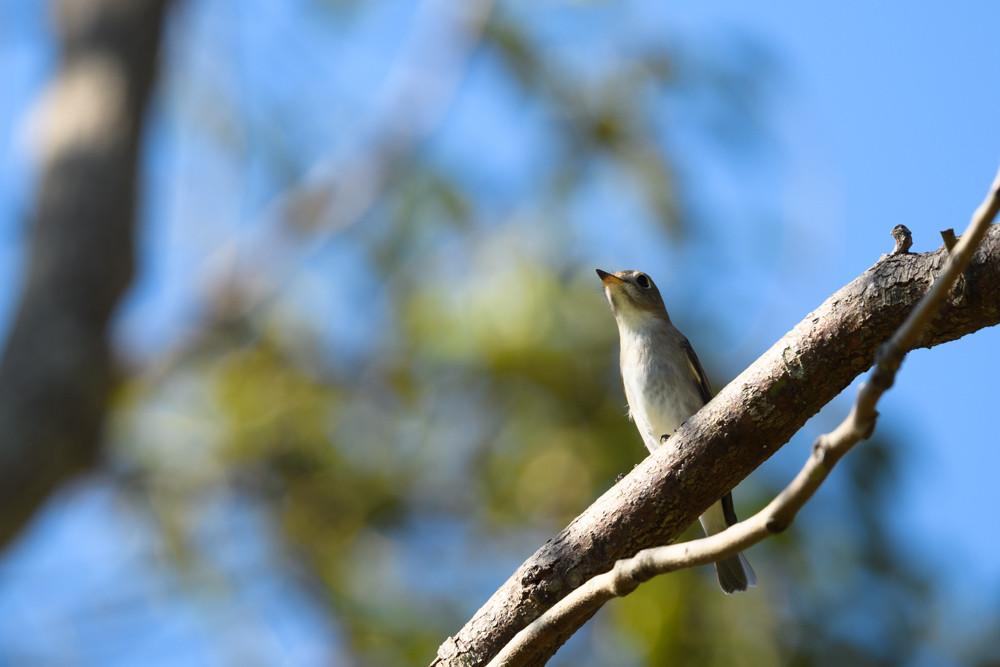 コサメビタキ / Asian brown flycatcher