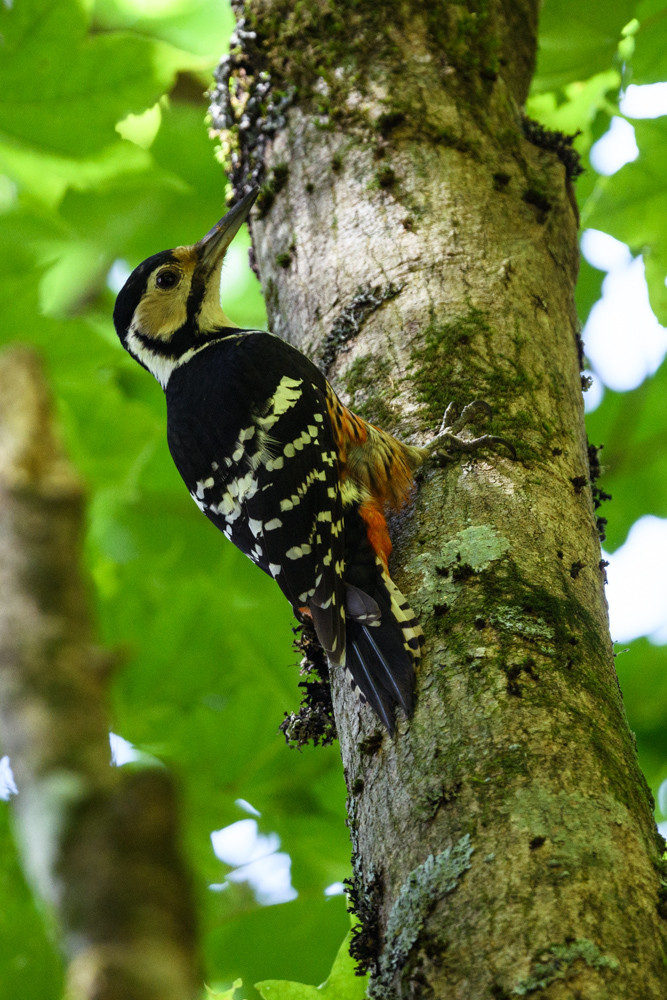 オオアカゲラ / White-backed woodpecker