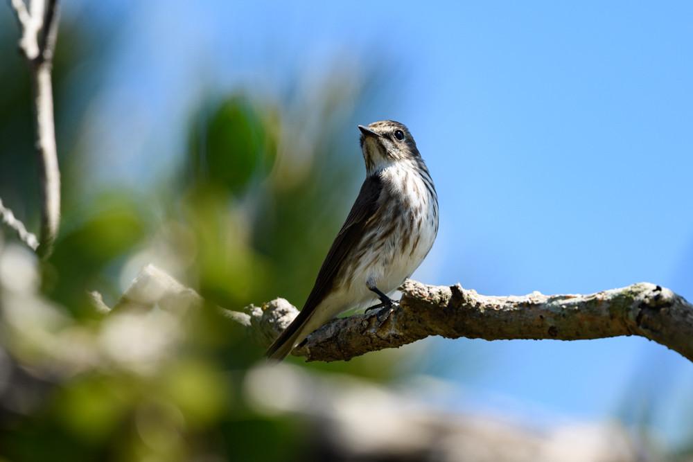 エゾビタキ / Grey-spotted Flycatcher