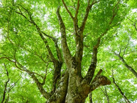ブナ林 / Beech forest